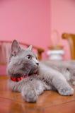 Blackwood Cat Pose Stock Images