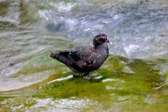 Blacky kaczka w strumieniu Zdjęcie Royalty Free