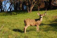 Blactail buck Stock Images
