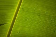 Blad 2 van de banaan Stock Foto's