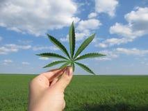 Blad av cannabis i handen mot en blå molnig himmel och ett grönt fält arkivfoto