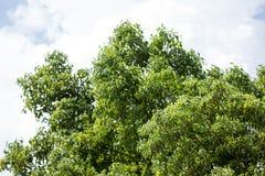 Blad av Cinnamomumcamphoraträdet Arkivfoto