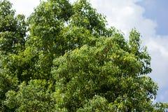 Blad av Cinnamomumcamphoraträdet Arkivbild
