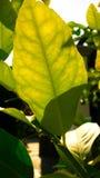 Blad av citronväxten Royaltyfri Foto