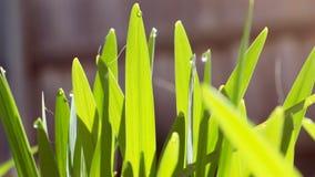 Blad av daggigt gräs Arkivbild