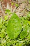Blad av de gröna vinrankaspenat royaltyfri bild