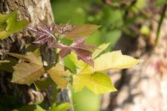 Blad av det gröna trädet för röd lönn för blandning royaltyfria bilder