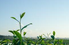 Blad av grönt te i lantgård Arkivbild