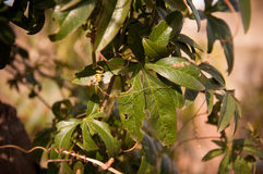 Blad av passifloracaeruleaen Arkivbild