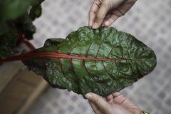 Blad av röd stamgrönsallat eller den röda charden Arkivbild