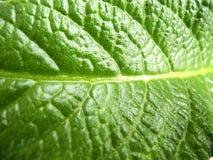 Blad av streptocarpusen Arkivfoto
