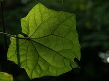 Blad av Thunbergia som är grandiflora med solljus från baksidan, klart sedd åder arkivfoto