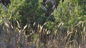 Blad av torkat gräs i ängen på solnedgången i skog stock video