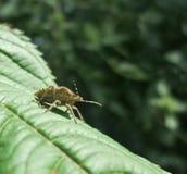 Blad-betaald insect Royalty-vrije Stock Afbeeldingen
