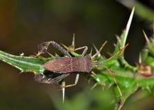 Blad Betaald insect die over een distelinstallatie kruipen stock fotografie