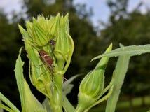 Blad betaald insect, tuinongedierte op okrainstallatie Royalty-vrije Stock Foto