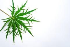 Blad Betadine, den växt- betadinen arkivfoto