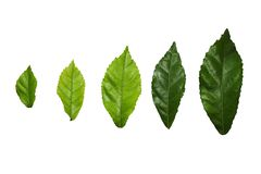 Blad, bladeren, groen ge?soleerde illustratie, royalty-vrije stock foto