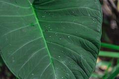 Blad in de tropische wildernis in Indonesië Verse installatie van tropische flora royalty-vrije stock afbeeldingen