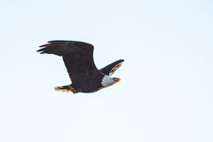 Blad Eagle Soaring över sjön Arkivfoto