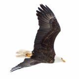 Blad Eagle Soaring über dem See Stockbild