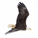 Blad Eagle Soaring au-dessus du lac Image stock