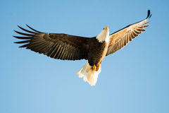 Blad Eagle Soaring over the lake Stock Images