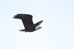 Blad Eagle Soaring sobre el lago Foto de archivo