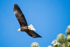 Blad Eagle Soaring sobre el lago Imagenes de archivo