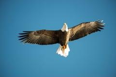 Blad Eagle Soaring sobre el lago Imágenes de archivo libres de regalías