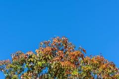 Blad en treetop van rubberboom witte blauwe hemel Stock Foto