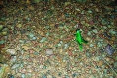 blad-etende groene sprinkhaan stock afbeeldingen