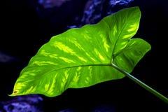 blad för bakgrundsmakrosvart och hans åder i ljuset Arkivbilder