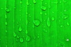 Blad för bananträd med regndroppar Royaltyfri Bild