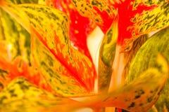 Blad för färgrik Aglaonema för Closeup nytt eller för kinesisk evergreen arkivfoton