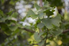 Blad för Ginko bilobaträd Fotografering för Bildbyråer