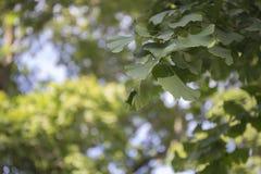 Blad för Ginko bilobaträd Arkivfoton