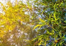 Blad för grön färg för friskhet av bambu Arkivbilder