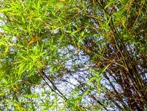 Blad för grön färg för friskhet av bambu Fotografering för Bildbyråer