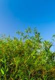 Blad för grön färg för friskhet av bambu Royaltyfria Bilder