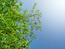 Blad för grön färg för friskhet av bambu Arkivfoton