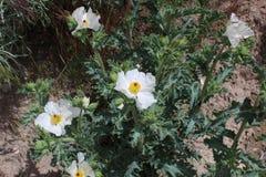 Blad a för gul knapp för vit blomma pointy arkivbild