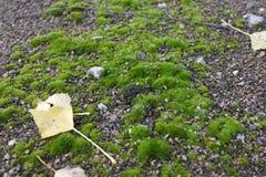 Blad för gul poppel på grön mossa royaltyfria bilder