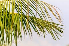 Blad för kokospalmfilial som isoleras på vit bakgrund royaltyfri fotografi