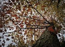 Blad för lönnträd och höst Arkivbilder