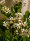 Blad för liguster för vita blommor ovalt i trädgården arkivfoto