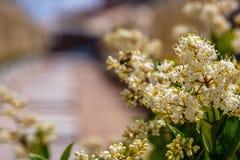 Blad för liguster för vita blommor ovalt i trädgården royaltyfri fotografi