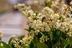 Blad för liguster för vita blommor ovalt i trädgården royaltyfria bilder
