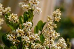 Blad för liguster för vita blommor ovalt i trädgården fotografering för bildbyråer