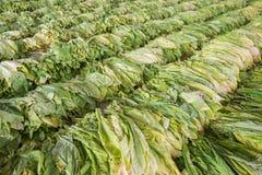 Blad för rå tobak från trädgård Royaltyfri Fotografi